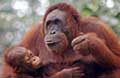 3 Days / 2 Nights Orang Utan Experience